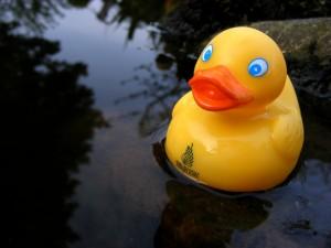 Geld für die Erforschung von Entengenitalien obwohl der Staat sparen muss? In den USA ist darüber ein Streit entbrannt. Foto: Jennifer Serabian/jugendfotos.de