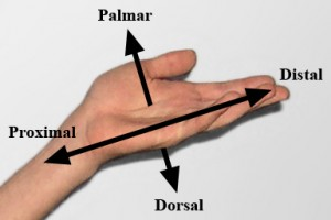"Bild: ""A simple hand, showing anatomical directions"" von Esseh. Lizenz: CC BY 3.0"
