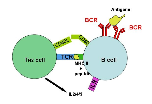 T-cell_dependent_b-cell_act