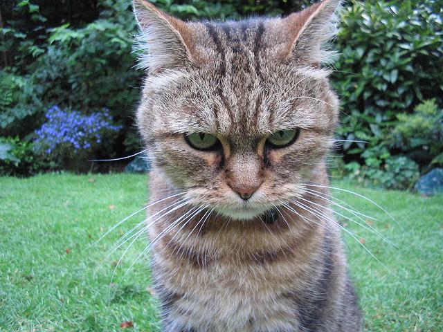 """Bild: """"Angry tiger"""" von  Guyon Morée. Lizenz: CC BY 2.0"""