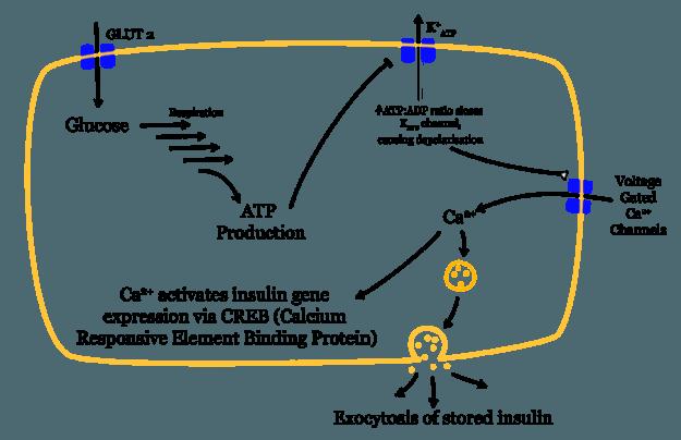 Glukose-insulin-freigabe