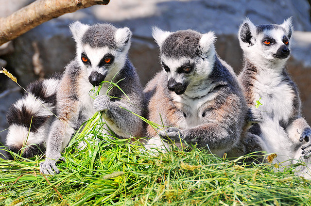"Bild: ""Three lemurs eating"" von Tambako The Jaguar. Lizenz: CC BY 2.0"
