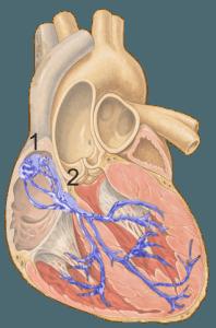 Schema des Herzens mit Erregungsleitungssystem in blau. (1) Sinusknoten, (2) AV-Knoten