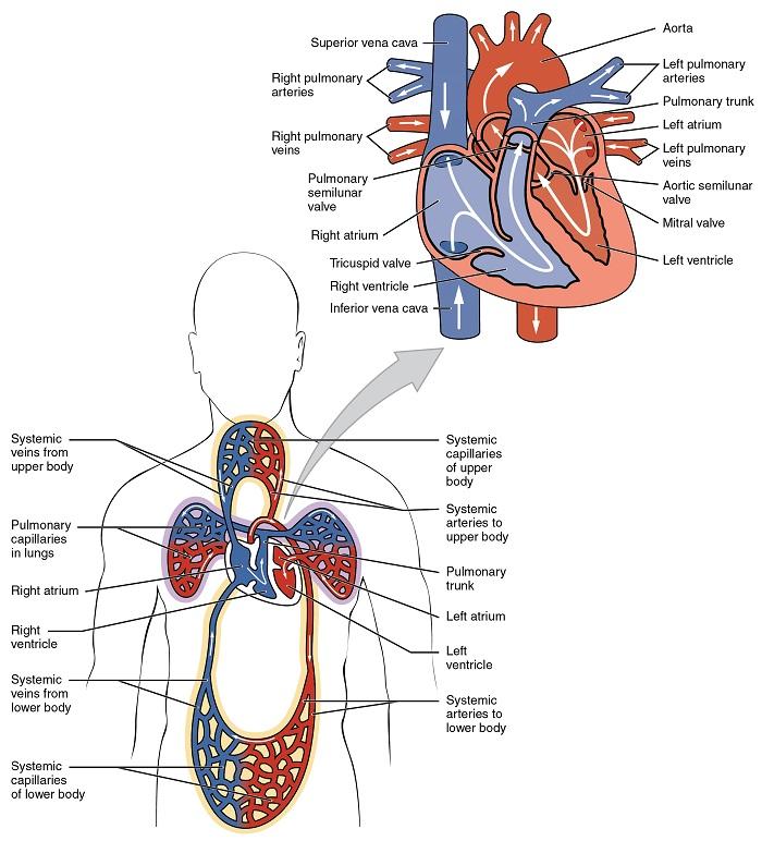 System der menschlichen Blutzirkulation