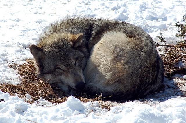 auf-diesem-bild-ist-ein-wolf.png