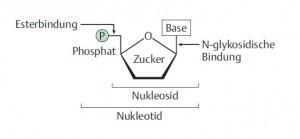 Nukleotide1