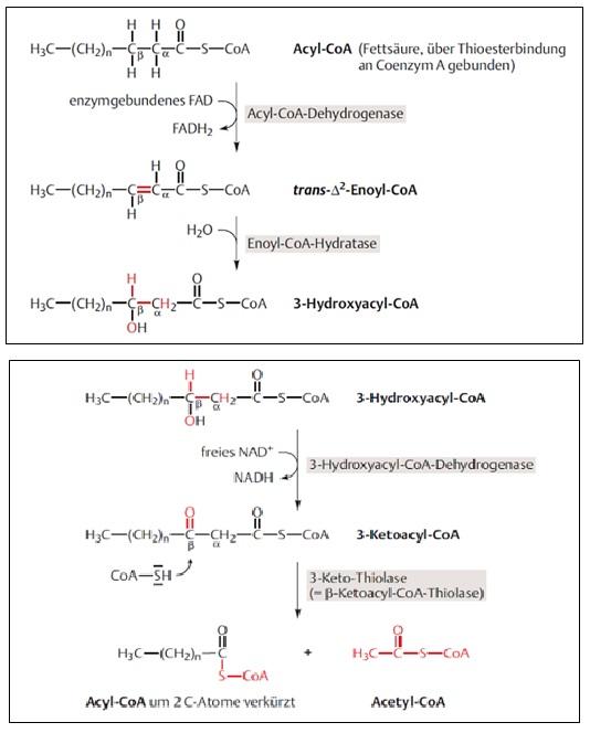Abbildung 1: Reaktionsschritte der beta-Oxidation, Quelle: Rassow et al.: Duale Reihe Biochemie 3. Auflage, Thieme-Verlag, Stuttgart 2012, S. 125