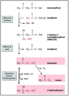 das ist die synthese von ketonkoerpern