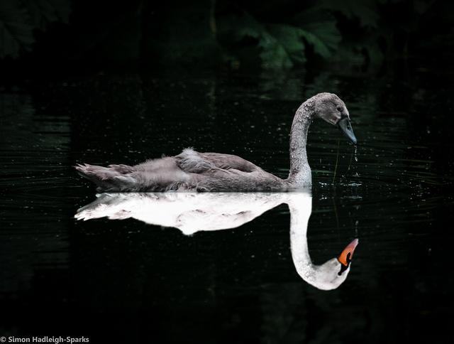 das ist ein schoener und ein haesslicher schwan