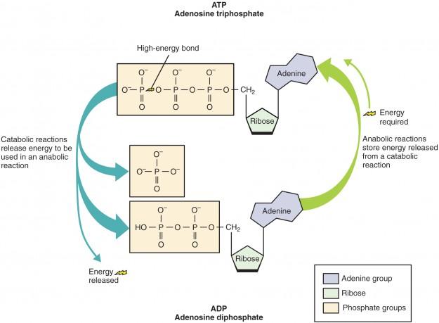 ATP Moleküls Struktur