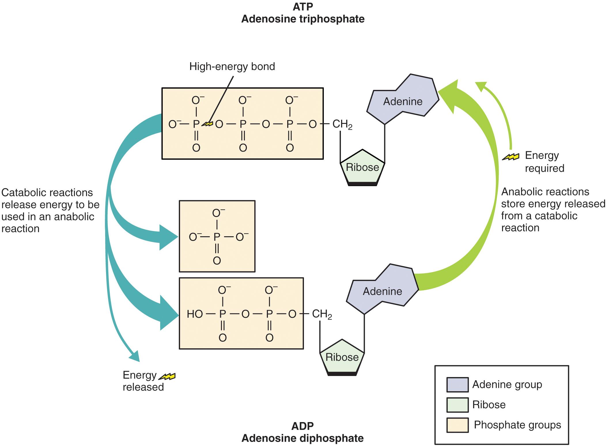 amp anabolic protein