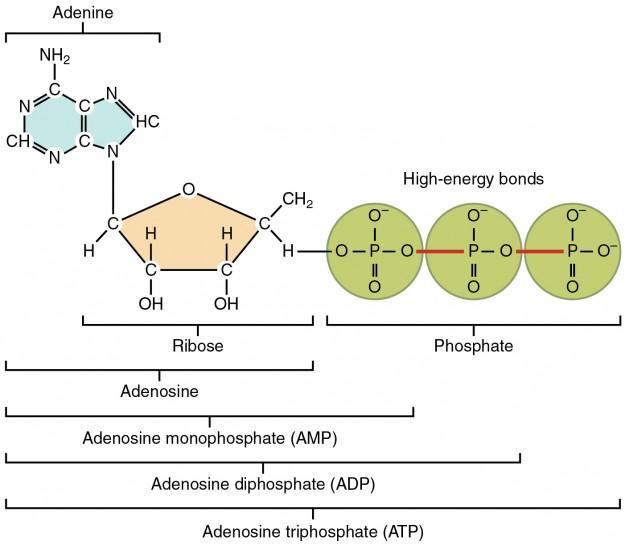 ATP Struktur