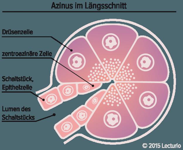 Azinus Pankreas