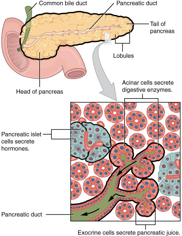 Exocrine und Endocrine Pankreas