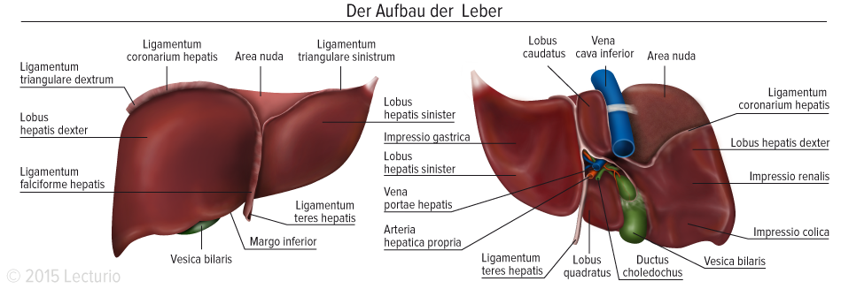 Ligamentum triangulare || Med-koM