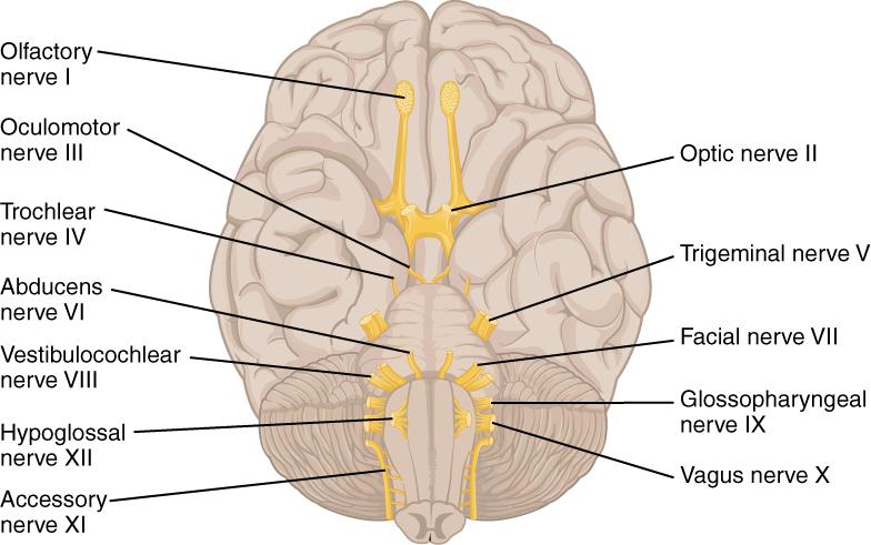 Die 12 Hirnnerven: Schematische Abbildung mit Beschriftung
