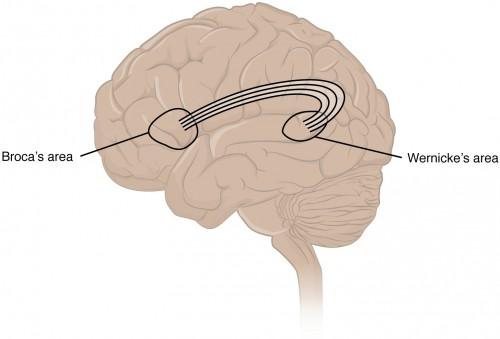 Skizze Gehirn: Broca und Wernicke Areal
