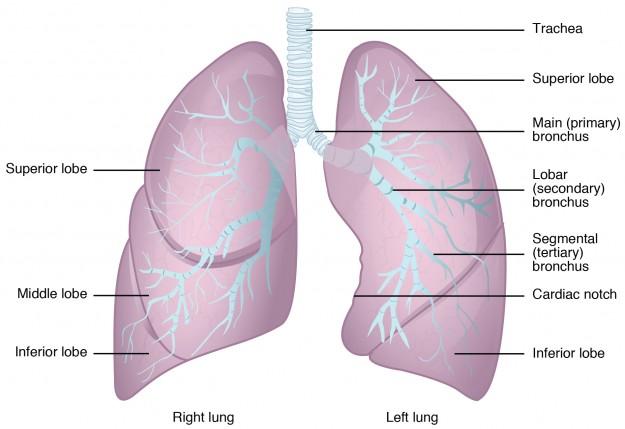 Schematische Abbildung der Lungenflügel