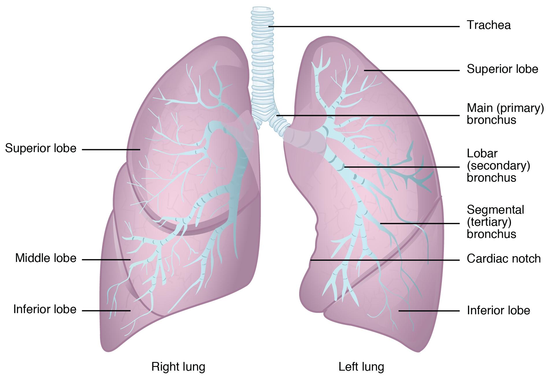 Ziemlich Linke Lunge Anatomie Ideen - Menschliche Anatomie Bilder ...