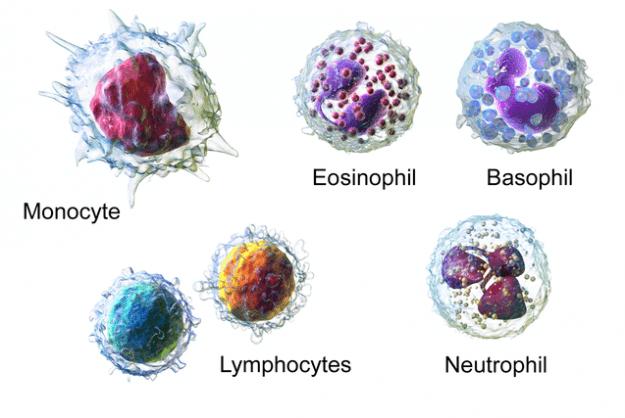 Weiße Blutzellen