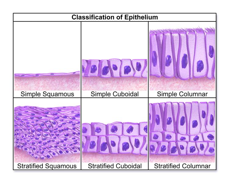 Klassifikation der Epithelien