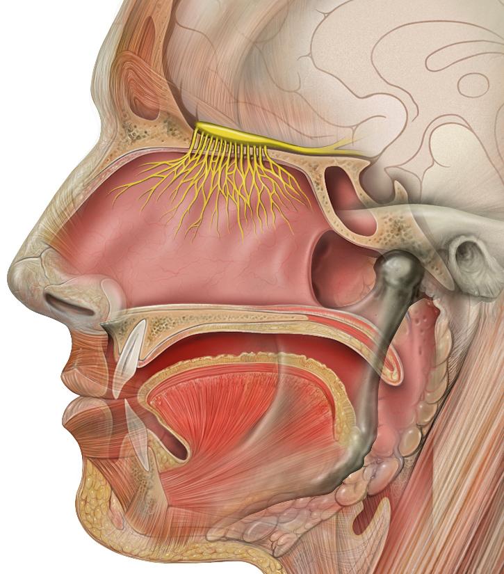 1. Olfaktorischer Hirnnerv (Nervus olfactorius): Schematische Abbildung