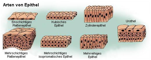 Arten von Epithelien