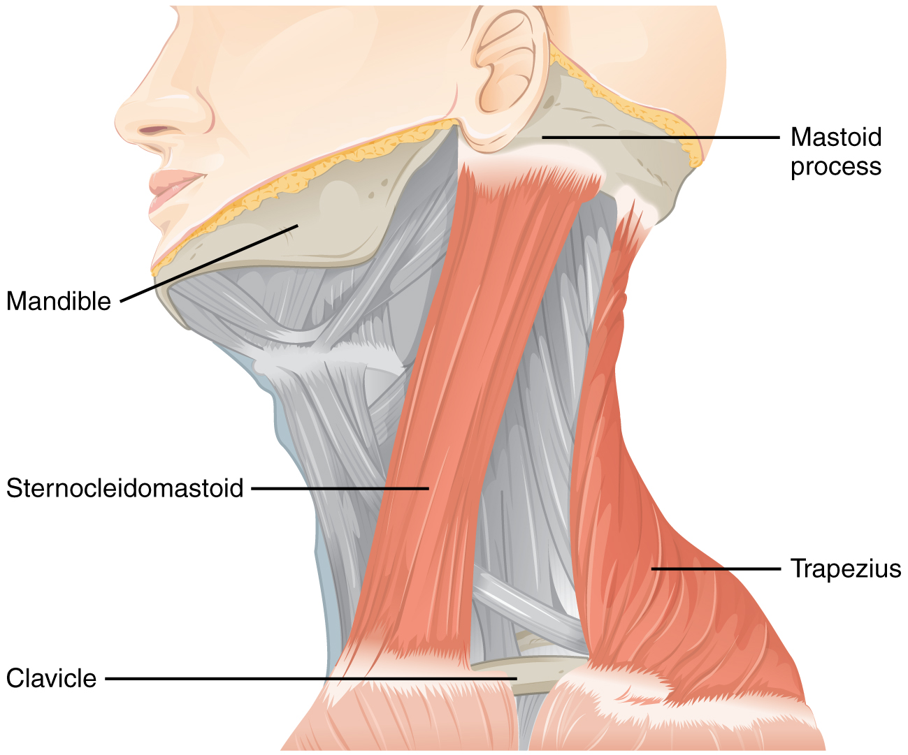 Muskel, die vom Hirnnerv XI: Nervus accessorius kontrolliert werden: Schematische Darstellung mit Beschriftung