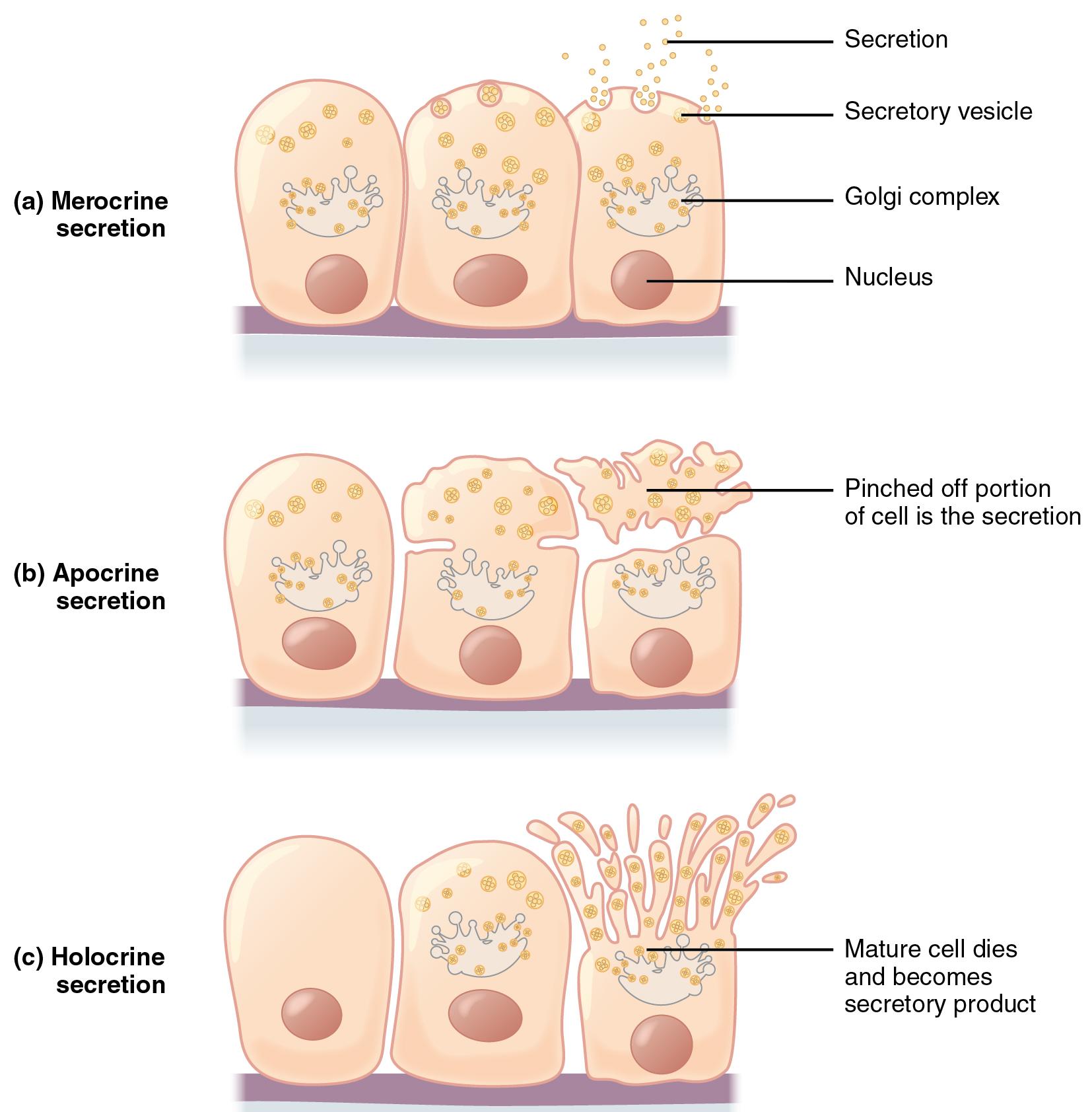 Fantastisch Endokrine Drüse Zeitgenössisch - Menschliche Anatomie ...