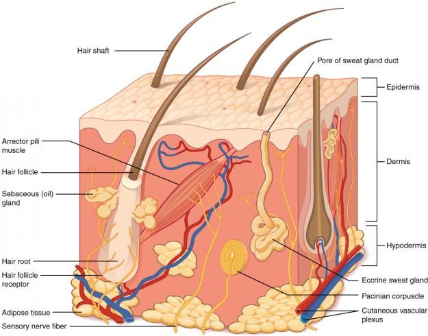 Aufbau der Haut (Schematische Darstellung)