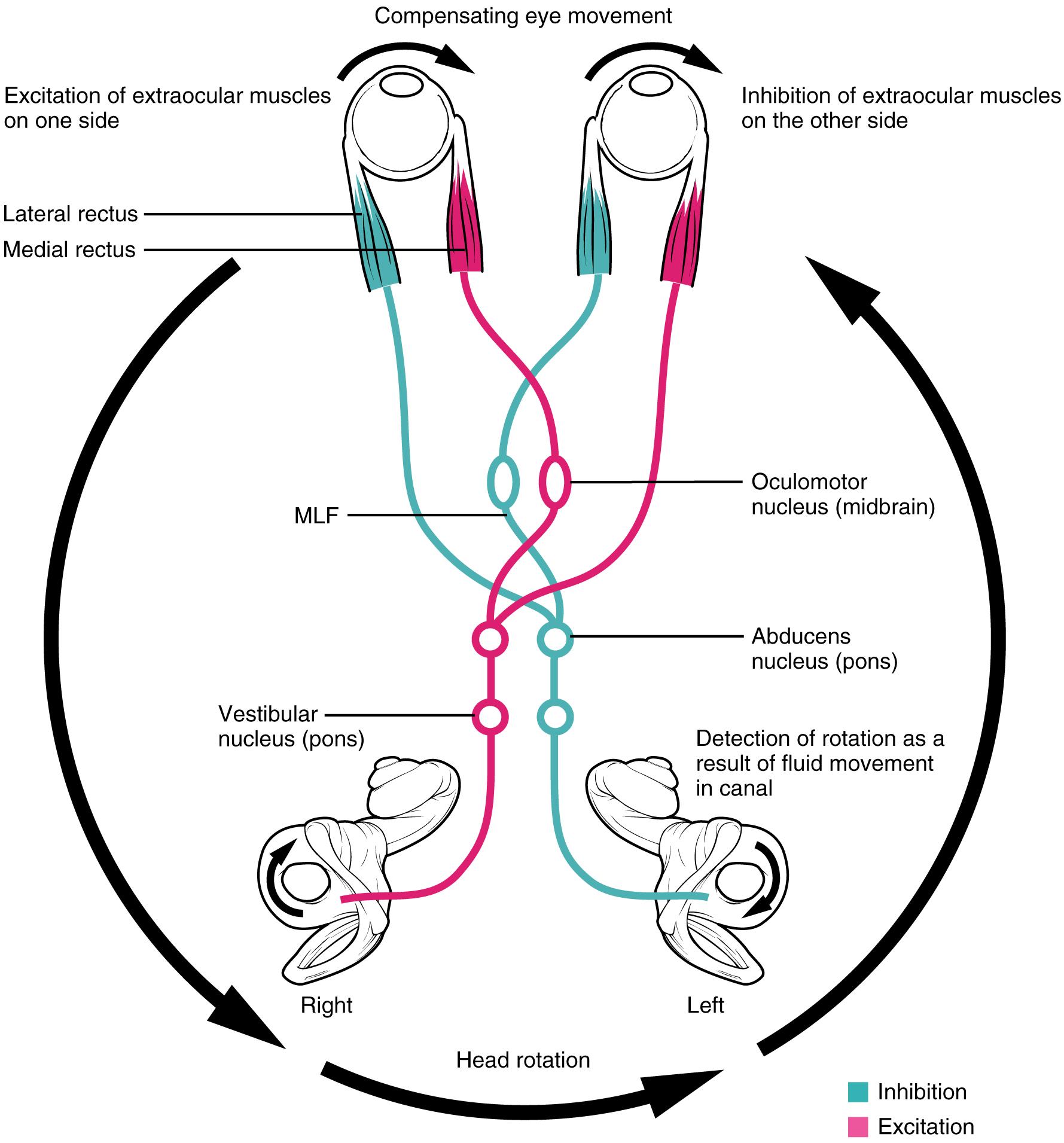Vestibulookuläre Reflex (VOR) und Hirnnerv VIII: Nervus vestibulocochlearis
