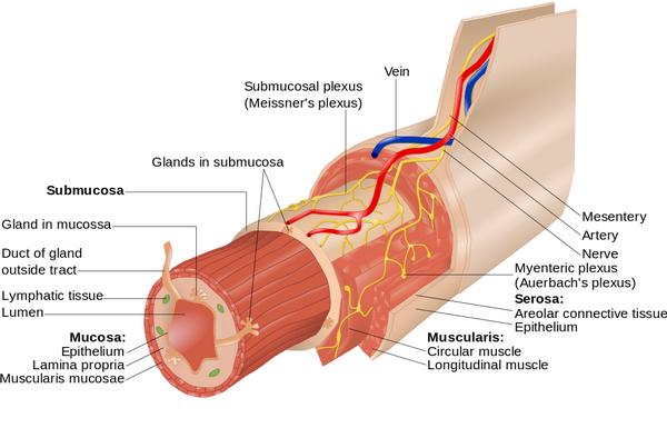 Aufbau der gastrointestinalen Wand