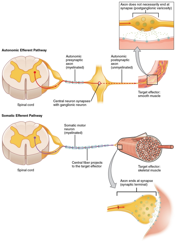 Tolle Teile Des Nervensystems Ideen - Menschliche Anatomie Bilder ...