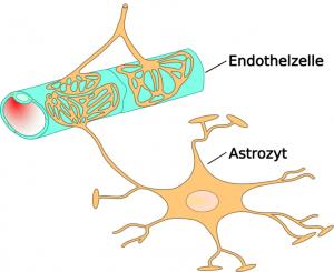 Schematische Darstellung des Endothels mit Astrozyten in der Blut-Hirn-Schranke