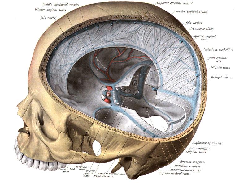 Anatomische Illustration der Septen