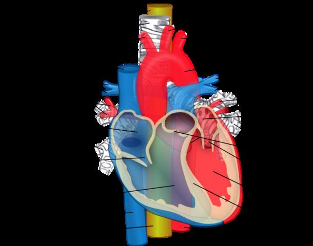 Die Speiseröhre (gelb) verläuft hinter der Luftröhre und des Herzens.