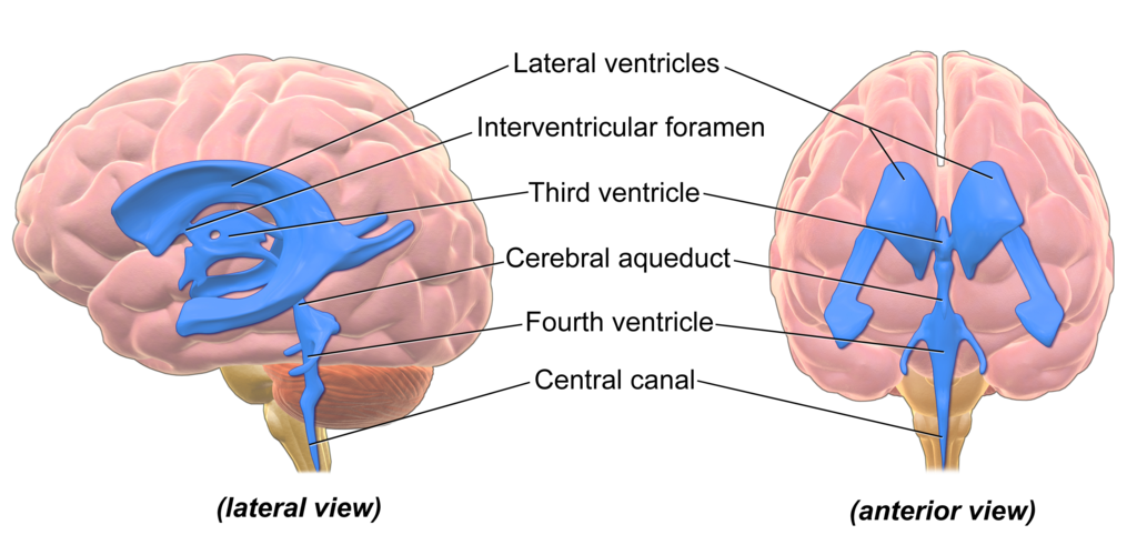 Blausen Ventricles Brain