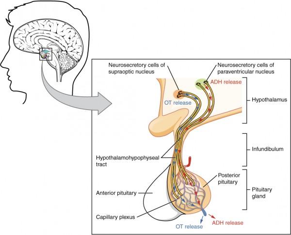 Schematische Darstellubng des Hypothalamus und der Hypophyse