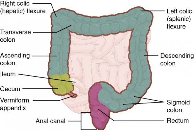 Large Intestine with Rectum and Anal canal