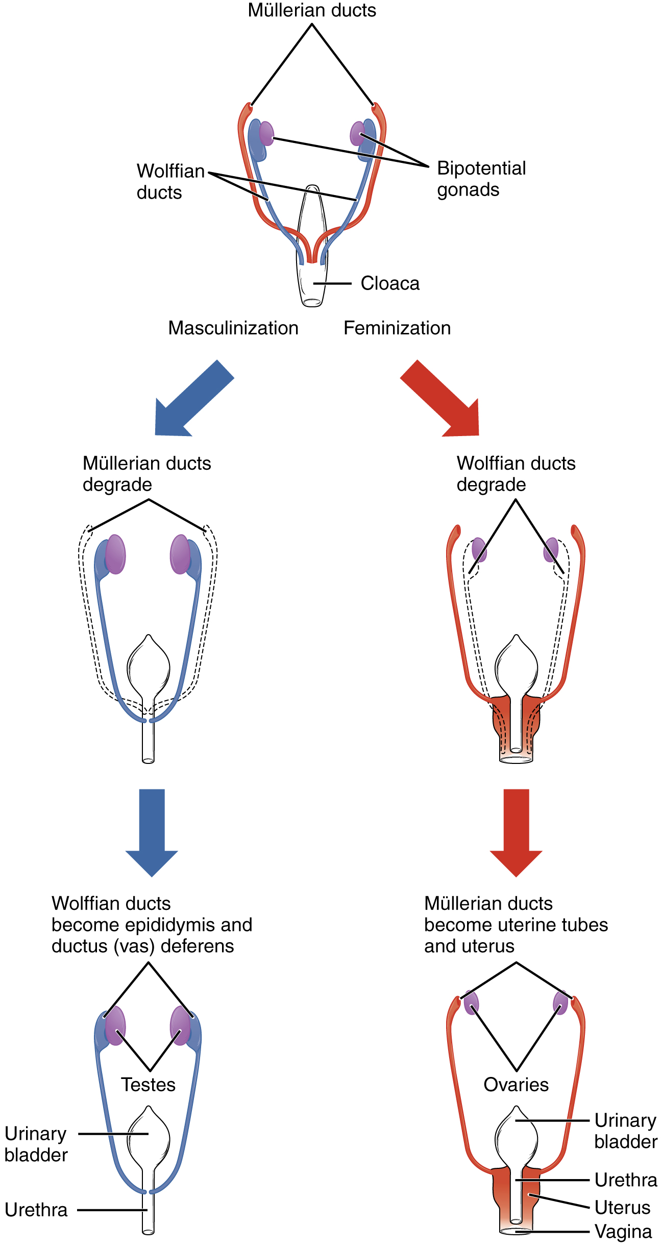 What is cellular maturation and functional definition called
