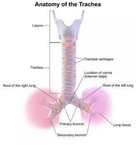 Anatomie der Trachea