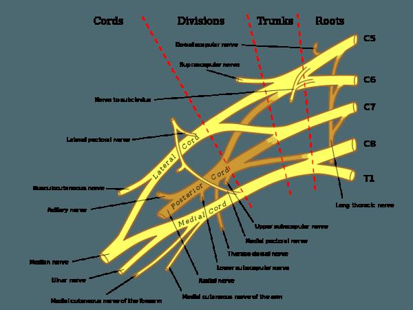 Vorderansicht des rechten brachial plexus