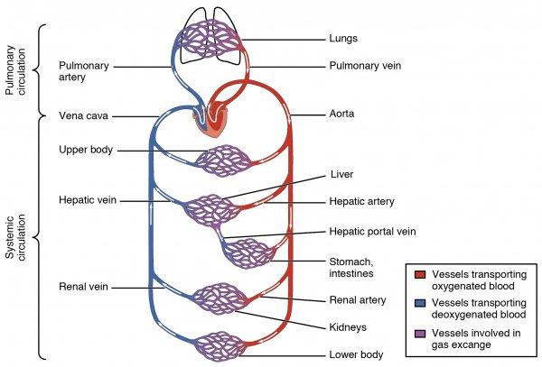 Blutkreislauf schematisch dargestellt