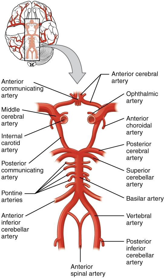 Blutzirkulation im Kopf