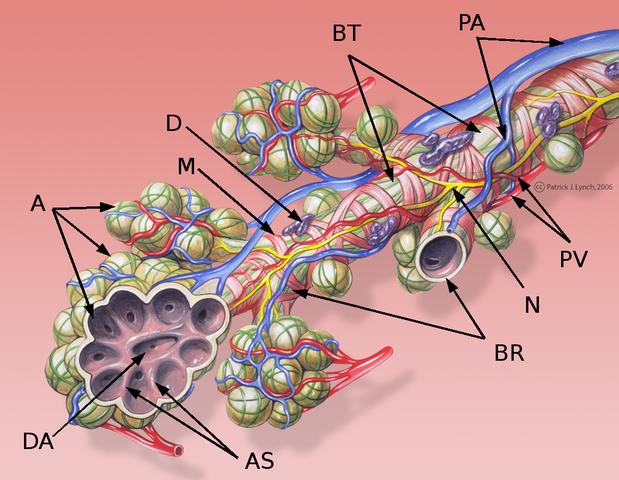 Bronchial Anatomie - Detail der Alveolen und Lungenkreislauf