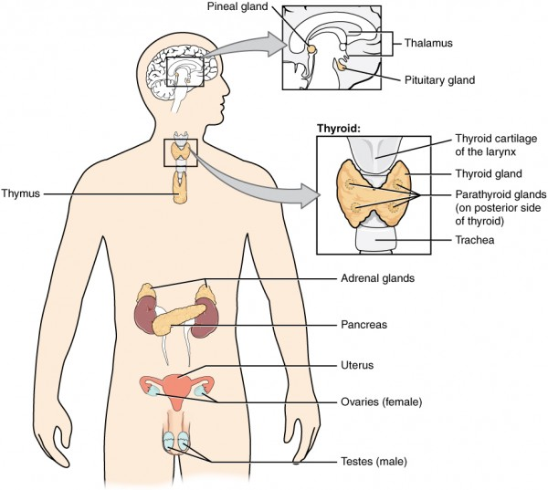 Das endokrine System