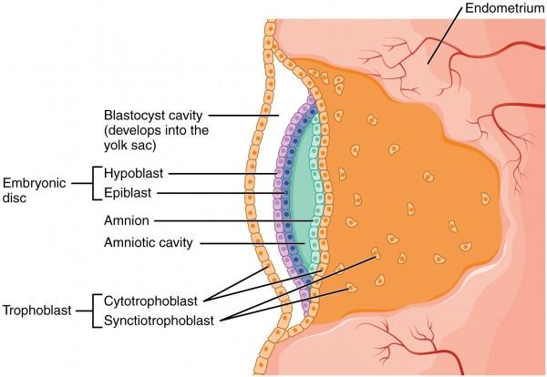 Embryonalentwicklung
