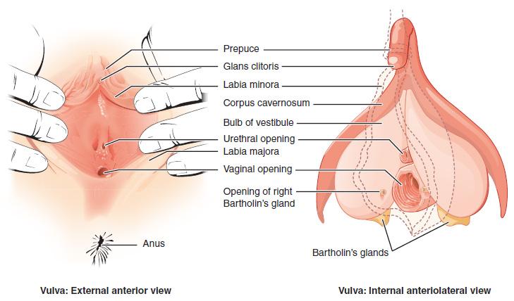 Weibliche sexuelle Erregungssymptome