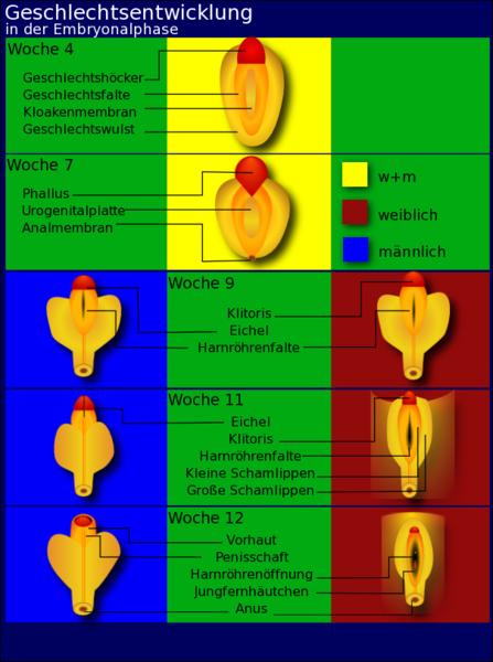Geschlechtsentwicklung in der Embryonalphase von der 4. bis zur 12. Woche