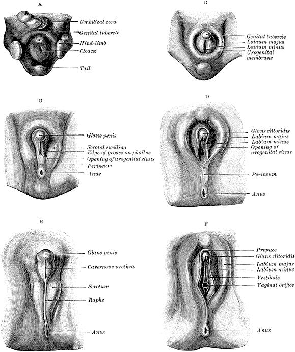 Unterschiedliche Entwicklungsstadien der äußeren Genitalien bei Mann und Frau